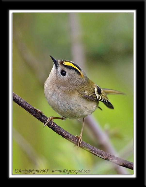 Goldcrest