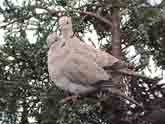 Pair of Collared Doves
